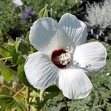 Hibiscus lasiocarpos var. occidentalis (californicus)  woolly rose mallow