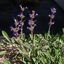 Salvia sonomensis 'Hobbit Toes' hobbit toes sage