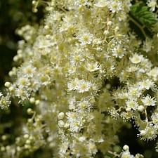 Holodiscus discolor  cream bush, ocean spray