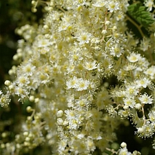 Holodiscus discolor  cream bush, ocean spray