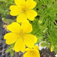Limnanthes douglasii ssp. sulphurea  Point Reyes meadowfoam