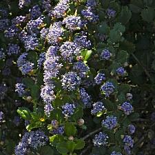 Ceanothus gloriosus var. exaltatus 'Emily Brown' Navarro ceanothus