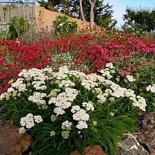 Achillea millefolium 'Sonoma Coast' yarrow