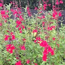 Salvia  'John Whittlesey'