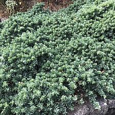 Leptospermum laevigatum 'Reevesii' dwarf tea tree