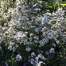 Aster (Symphyotrichum) ericoides 'Monte Cassino' white heath aster