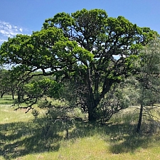 Quercus douglasii  blue oak