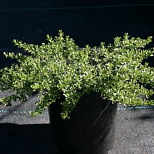 Baccharis magellanica  Christmas bush