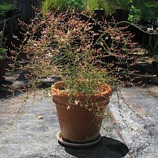 Holodiscus dumosus var. cedrorus  Cedars cream bush