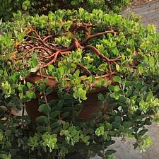 Arctostaphylos glandulosa f. repens 'Mount Vision' Eastwood manzanita