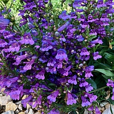 Penstemon  'Catherine de la Mare' penstemon