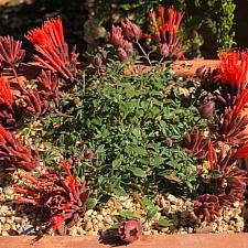 Monardella macrantha 'Marian Sampson' scarlet coyote mint