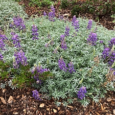 Lupinus albifrons var. collinus  prostrate silver lupine