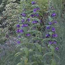 Penstemon 'Chiapas'