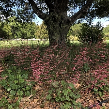 Heuchera micrantha 'Martha Roderick' alum root