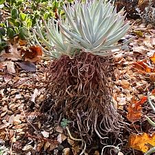 Dudleya  virens ssp. hassei  Catalina Island Dudleya