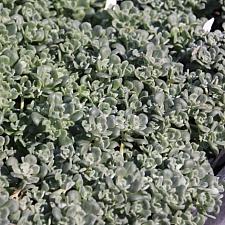Sedum  spathulifolium 'Elephant Rock' Pacific stonecrop