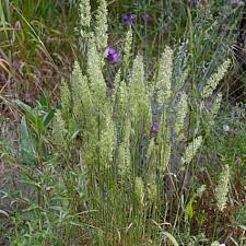 Koeleria macrantha  June grass