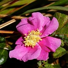 Rosa nutkana  Nootka rose