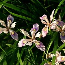 Iris douglasiana 'Marin Mauve' iris