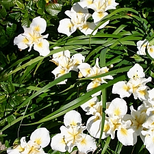 Iris douglasiana 'Canyon Snow' white Douglas iris