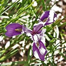 Iris  macrosiphon 'Mount Madonna' long tube Iris
