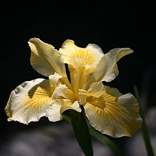 Iris Pacific Coast hybrid 'Canyon Sunshine' Pacific Coast hybrid iris