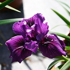 Iris Pacific Coast hybrid 'Dark Delight' Pacific Coast hybrid iris