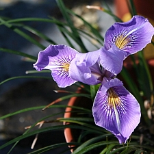 Iris Pacific Coast hybrid 'Madonna Three' Pacific Coast hybrid iris