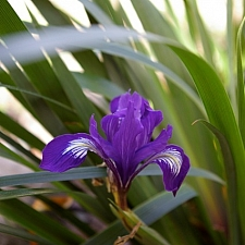 Iris douglasiana 'Pt. Reyes' iris