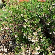 Arctostaphylos densiflora 'James West' Vine Hill manzanita