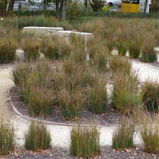 Juncus patens  California grey rush