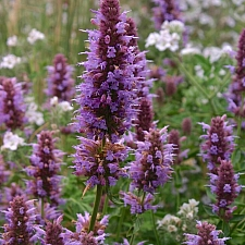 Agastache  'Kudos Silver Blue' hybrid anise hyssop
