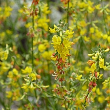 Lotus (Acmispon) scoparius (glaber)  deerweed