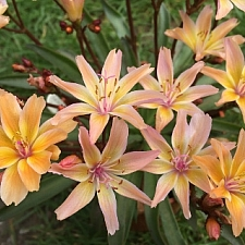 Lewisia longipetala 'Little Peach' cliff maids