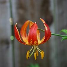 Lilium  pardalinum 'Giganteum' giant leopard lily