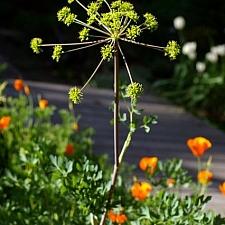 Lomatium californicum  California lomatium