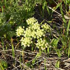 Lomatium dasycarpum  lace parsnip