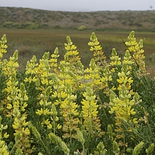 Lupinus arboreus - yellow flowered form  yellow bush lupine