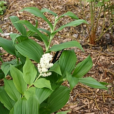 Maianthemum (Smilacina) racemosum  fat false Solomon's seal