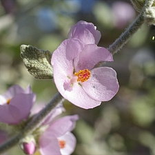 Malacothamnus fremontii  fremont's bush mallow