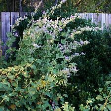 Malacothamnus fasciculatus 'Casitas' chapparal bush mallow