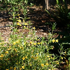 Mimulus aurantiacus 'Ted's Yellow' sticky monkeyflower