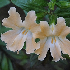 Mimulus  'Creamsicle' monkeyflower