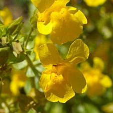 Mimulus guttatus  common monkeyflower