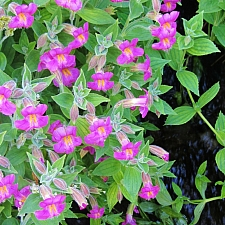 Mimulus lewisii - Cascade Mountains form  Lewis' monkeyflower