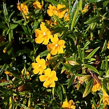 Mimulus aurantiacus  sticky monkeyflower
