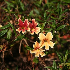 Mimulus  'Changeling' monkeyflower