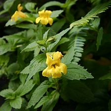 Mimulus dentatus  coastal monkeyflower