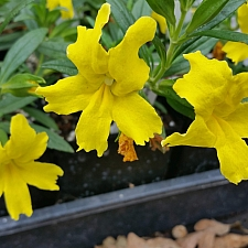 Mimulus  'Jelly Bean Lemon' monkeyflower